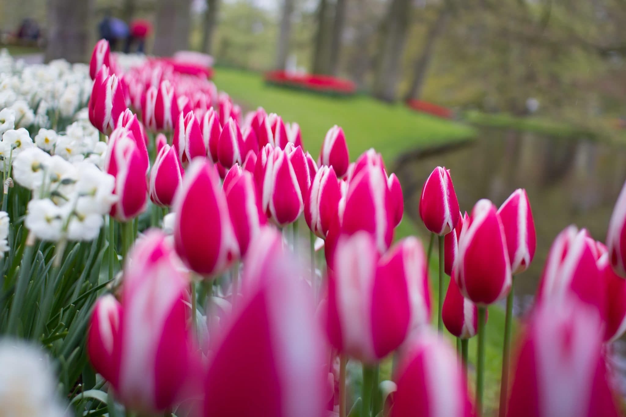 Flowers of Keukenhof (2016)